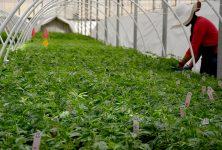 Cannabis in San Luis Obispo County